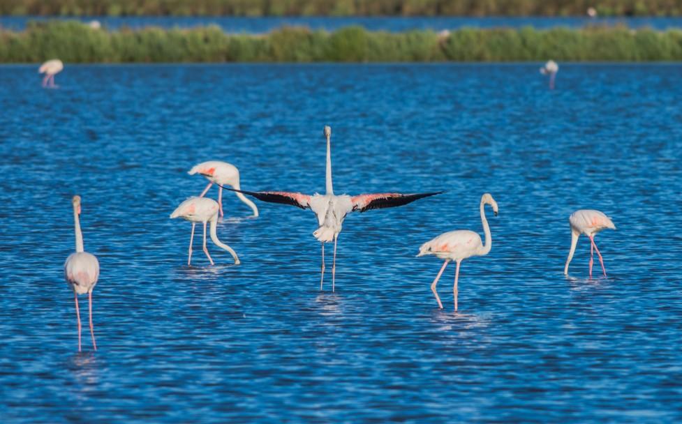 Urlaub in Cervio: Animation der Natur. Hier sehen Sie die Flamingos auf einem See an den Salinen und Salzwerken von Cervio. (#02)