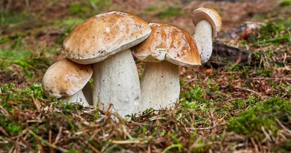 """Steinpilze finden, das versuchen in diesem Herbst sicher wieder viele Familien. """"Boletus"""" heißt des Deutschen liebster Pilz. (#1)"""