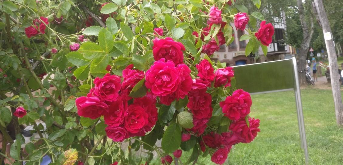 Die ersten Rosen blühen in Bad Münster am Stein bereits...
