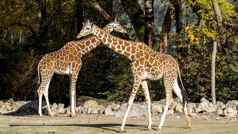 Im Jahr 2002 trat in Deutschland die EU-Zoorichtlinie (1999/22/EG) in Kraft, mit der die Zoos aufgefordert werden, Tiere artgerecht zu halten.