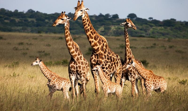Sind Giraffen die aus freier Wildbahn in einen Zoo kommen eigentlich überlebensfähig?